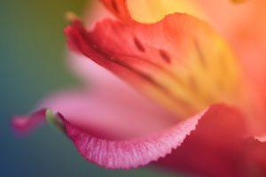 flower petal hd