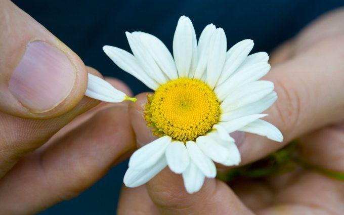 flower petals chamomile
