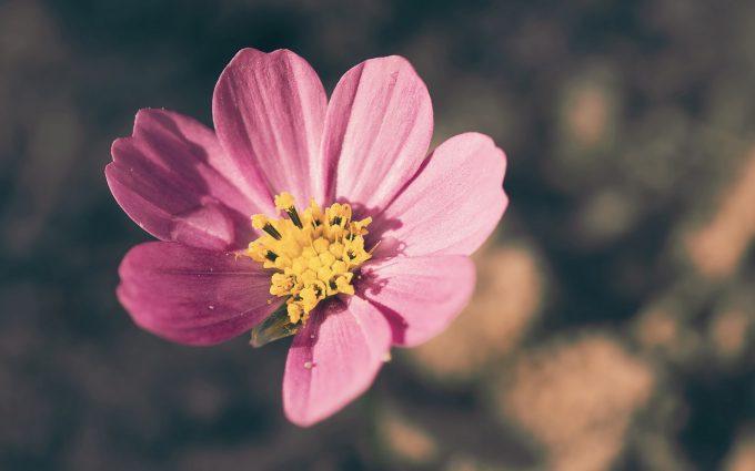 flower petals pink