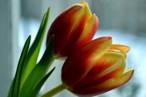 flower petals tulip