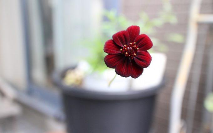 flower red hd