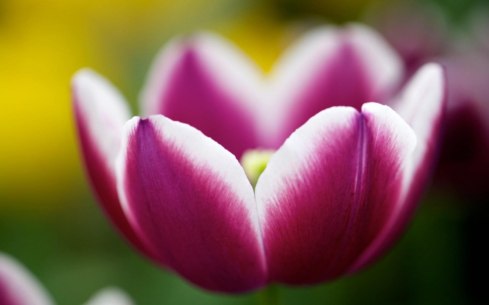 flower tulip macro close up