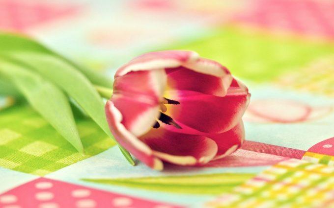 flower tulip photos