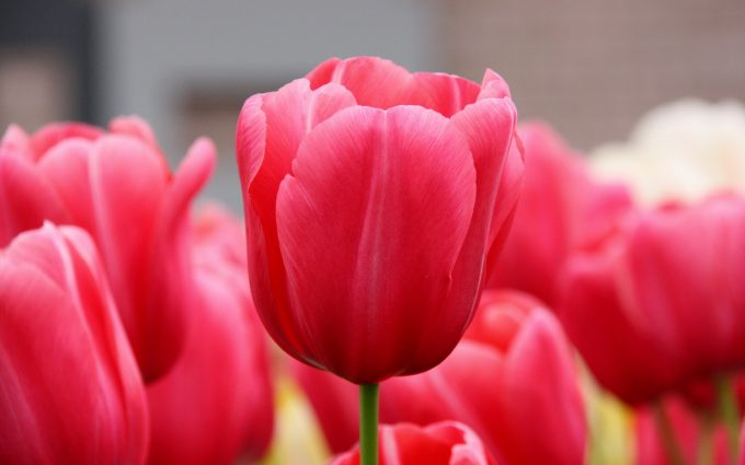 flower tulip picture