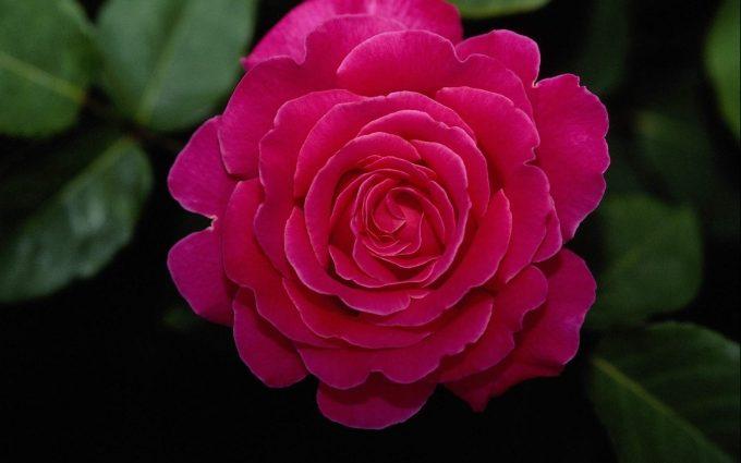 flower  wallpaper A26