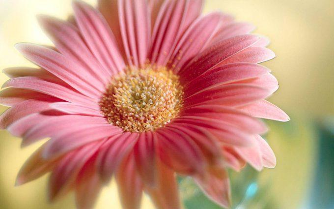 flower  wallpaper A27