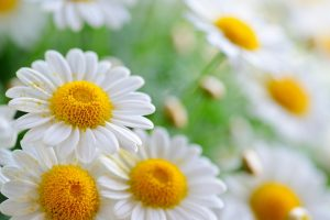 flower wallpaper daisies