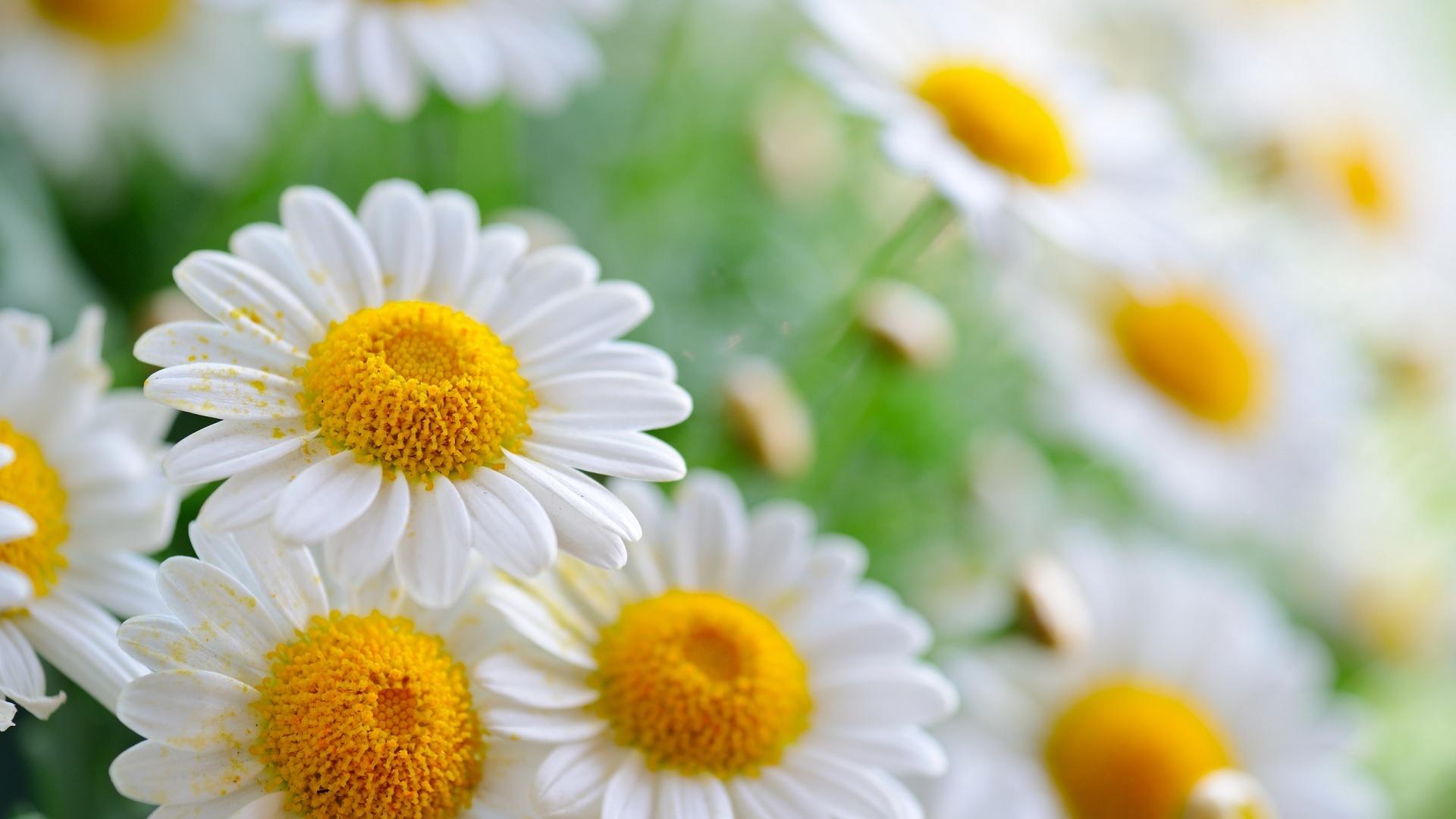 flower wallpaper daisies
