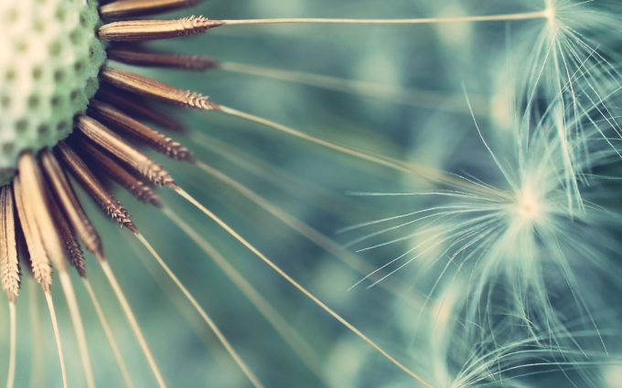 flower wallpaper dandelion