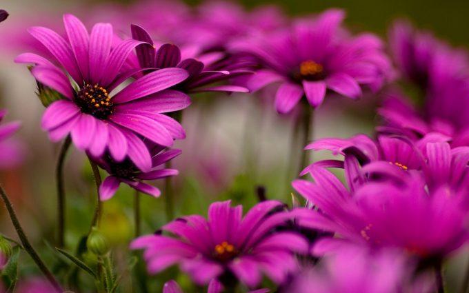 flower wallpaper purple