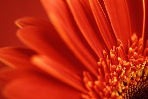 flower wallpaper red