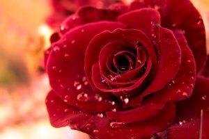 flower wallpaper stunning red