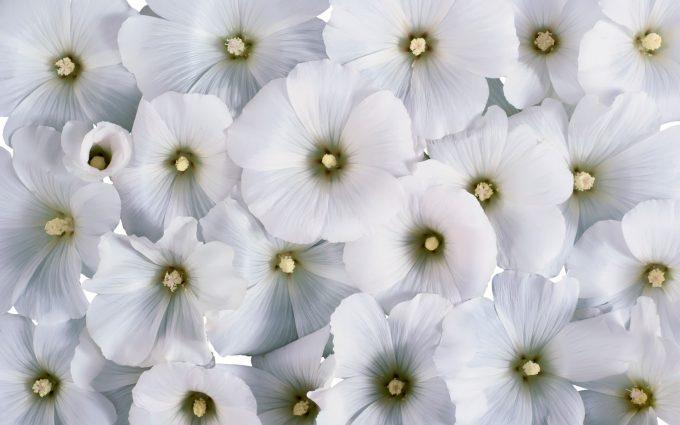 flower wallpaper stunning white