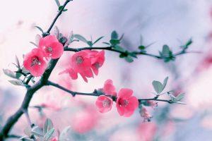 flower wallpapers rose