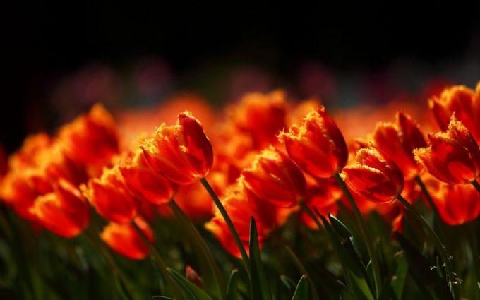 flowers field tulips nature