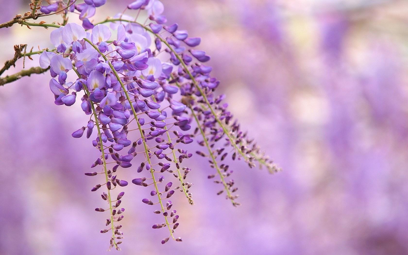 flowers lilac wisteria