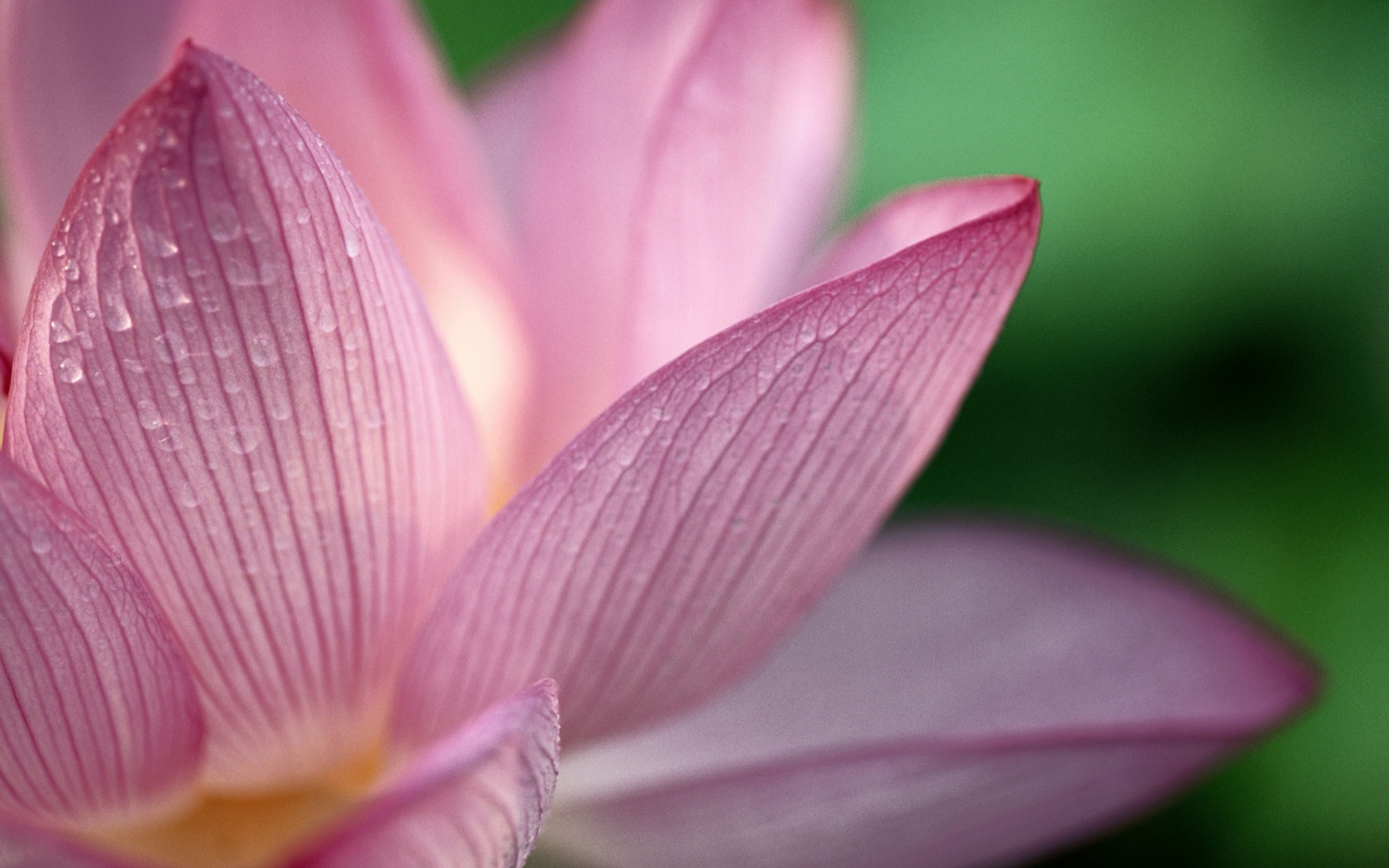 flowers lotus pictures