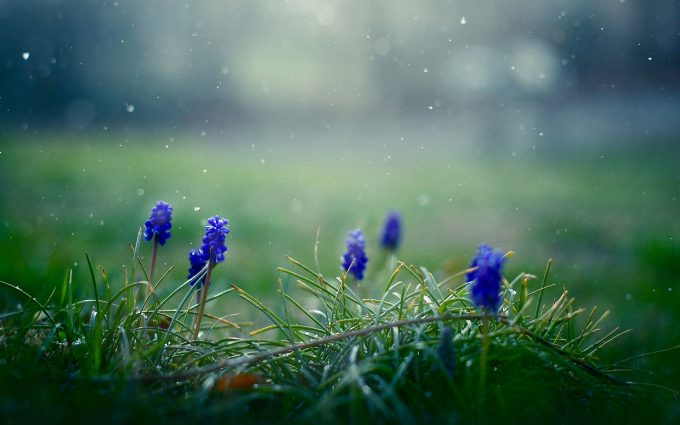 flowers muscari nature