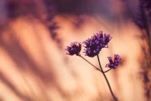 flowers purple blur