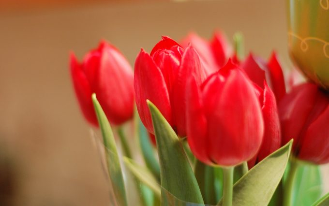 flowers red tulips