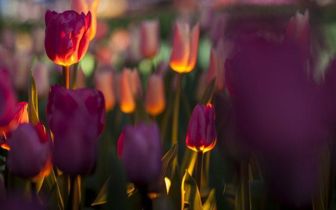 flowers tulips focus field