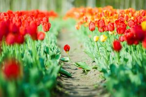 flowers tulips green leaves nature