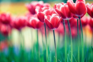 flowers tulips nature