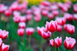 flowers tulips pictures