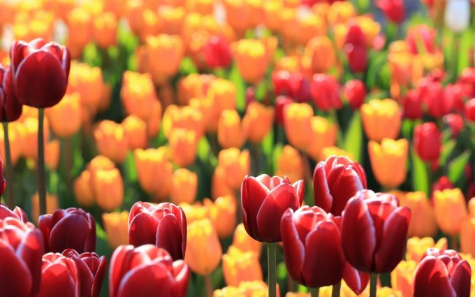 flowers tulips red yellow