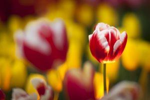 focus tulips flowers blur