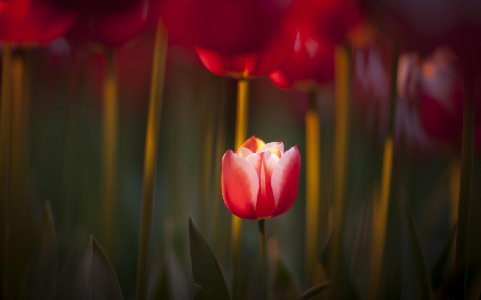 focus tulips red spring nature