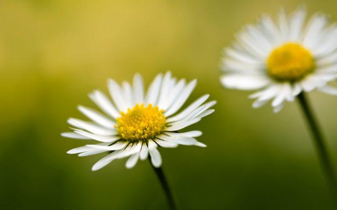 free daisies wallpaper