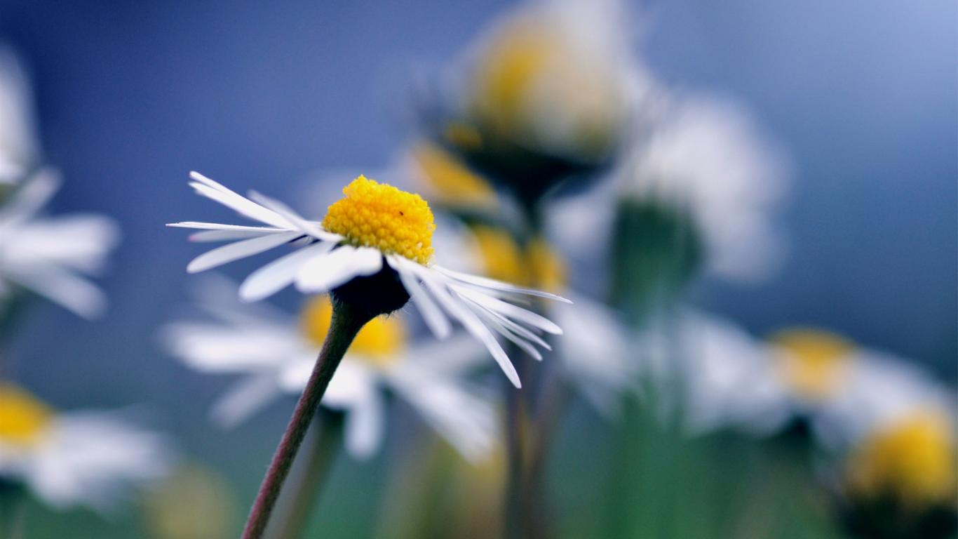 free flower chamomile
