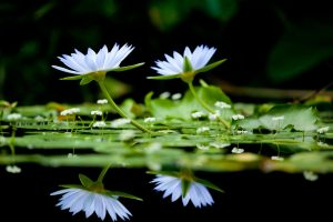 free flower wallpaper water