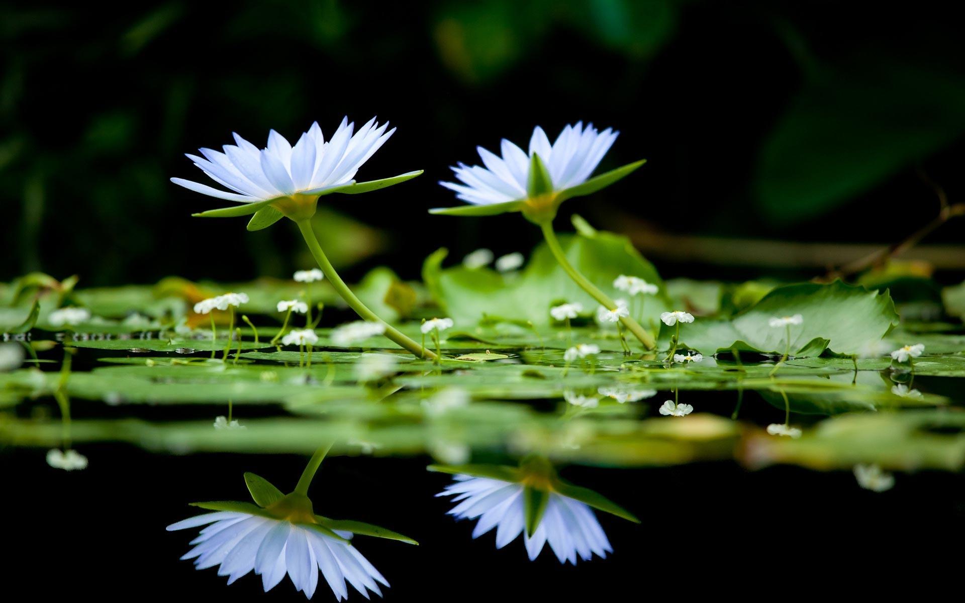 free flower wallpaper water