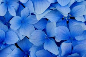 free flower wallpapers blue