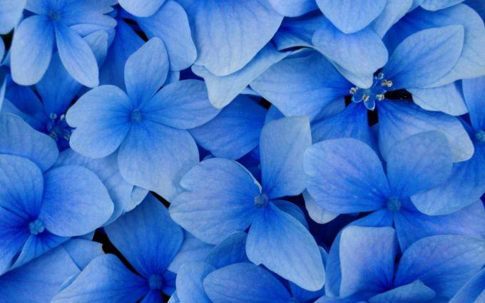 free flower wallpapers blue