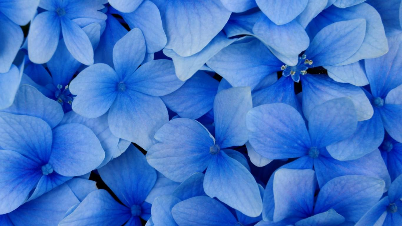 Free flower wallpapers blue hd desktop wallpapers 4k hd free flower wallpapers blue voltagebd Gallery
