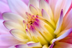 free flower wallpapers pink