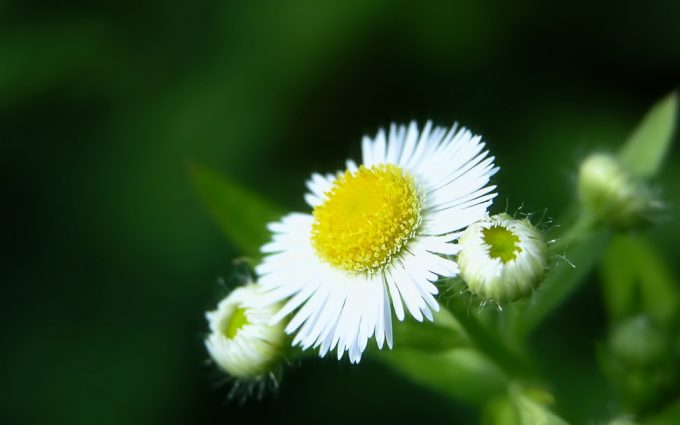 free flower wallpapers white