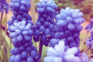 free hyacinth wallpaper