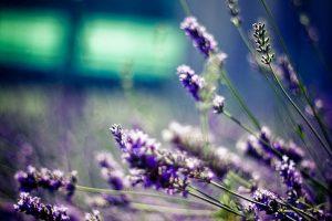 free lavender wallpaper