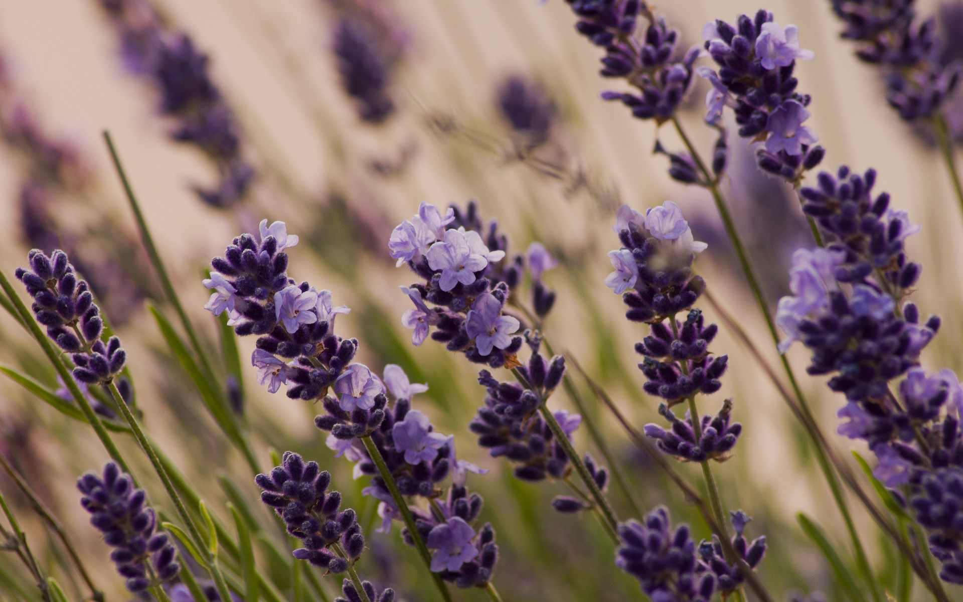 free lavender wallpaper hd aa