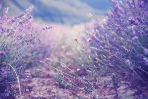 free lilac wallpaper
