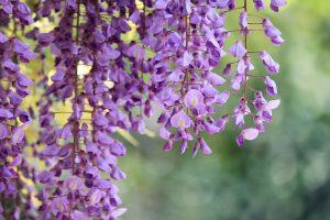 free purple macro pictures