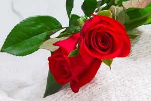 free rose images download
