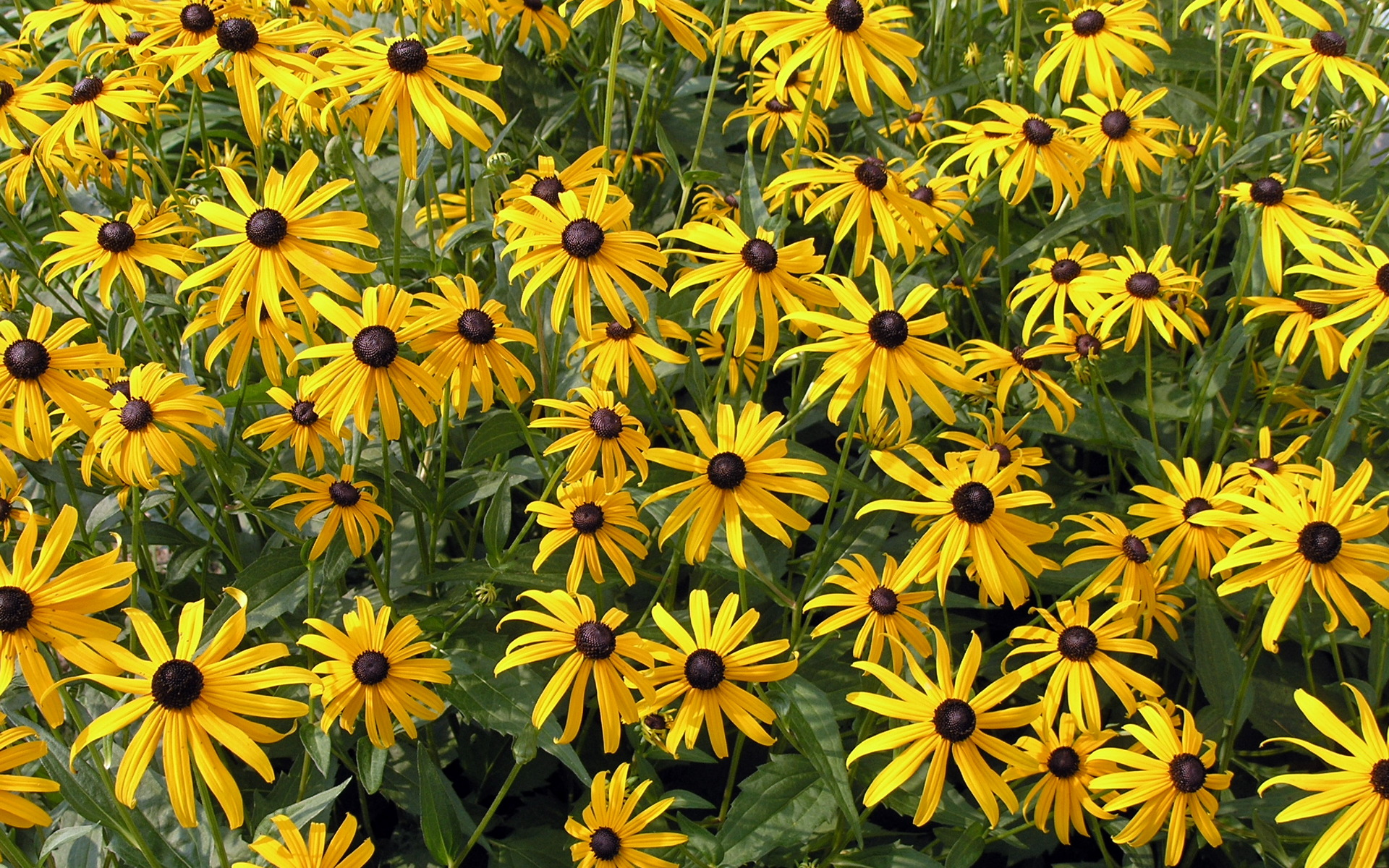 free rudbeckia flowers wallpaper HD