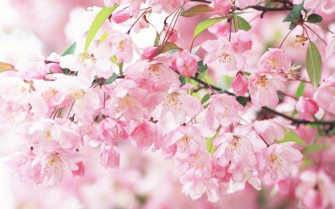 free sakura wallpaper