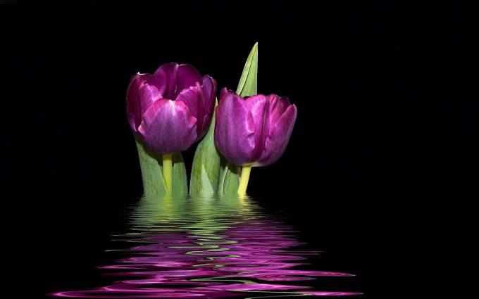 free tulip pictures