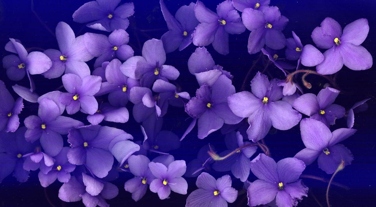 free violet wallpaper